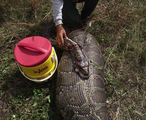 Самая большая змея в мире Рекорды мира