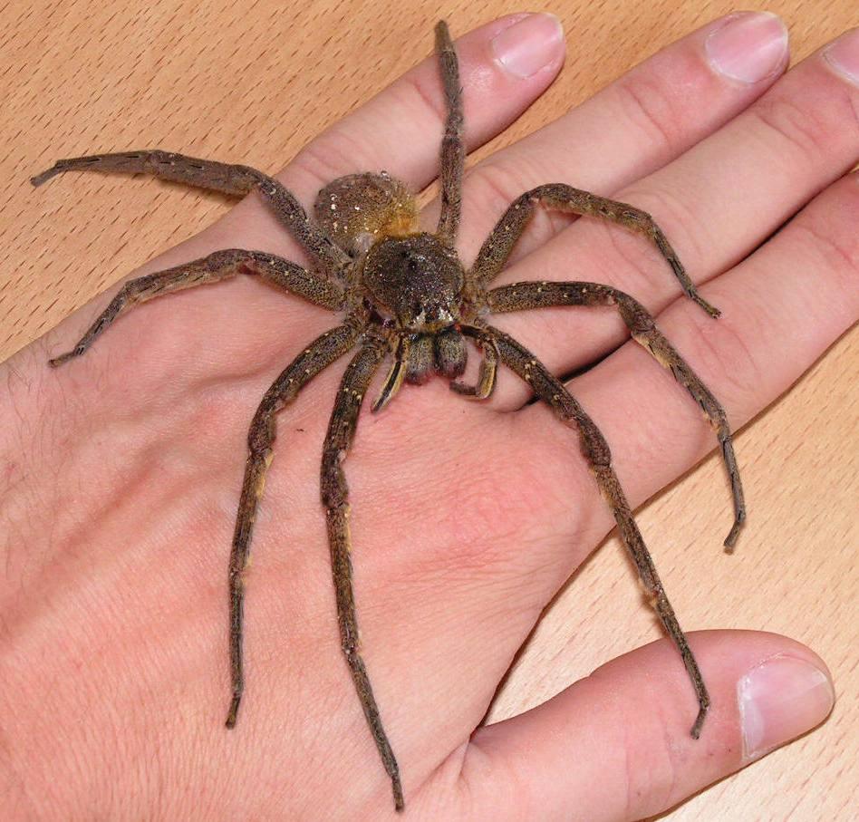 Fotos de aranhas marrom 9