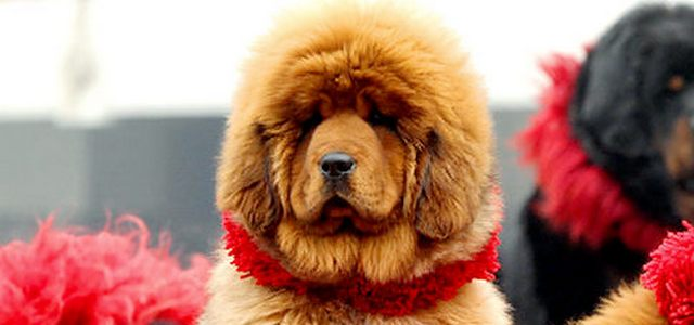 A-Royal-Dog-Red-Tibetan-Mastiff-3