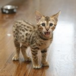 Savannah_Cat-alvin-f3-savannah-kitten-2
