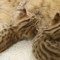 Savannah_Cat-f3-savannah-cat-kittens-1