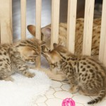 Savannah_Cat-f3-savannah-cat-male-for-sale-4