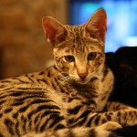 original A1 Savannahs F2 Savannah male kitten