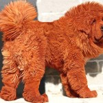 tibetan-mastiff-red-expensive-dog-large-pic